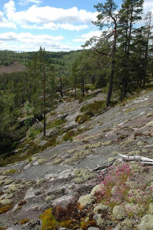 Utsikt från Rödkullshällen med fjällnejlikor på hällarna i förgrunden
